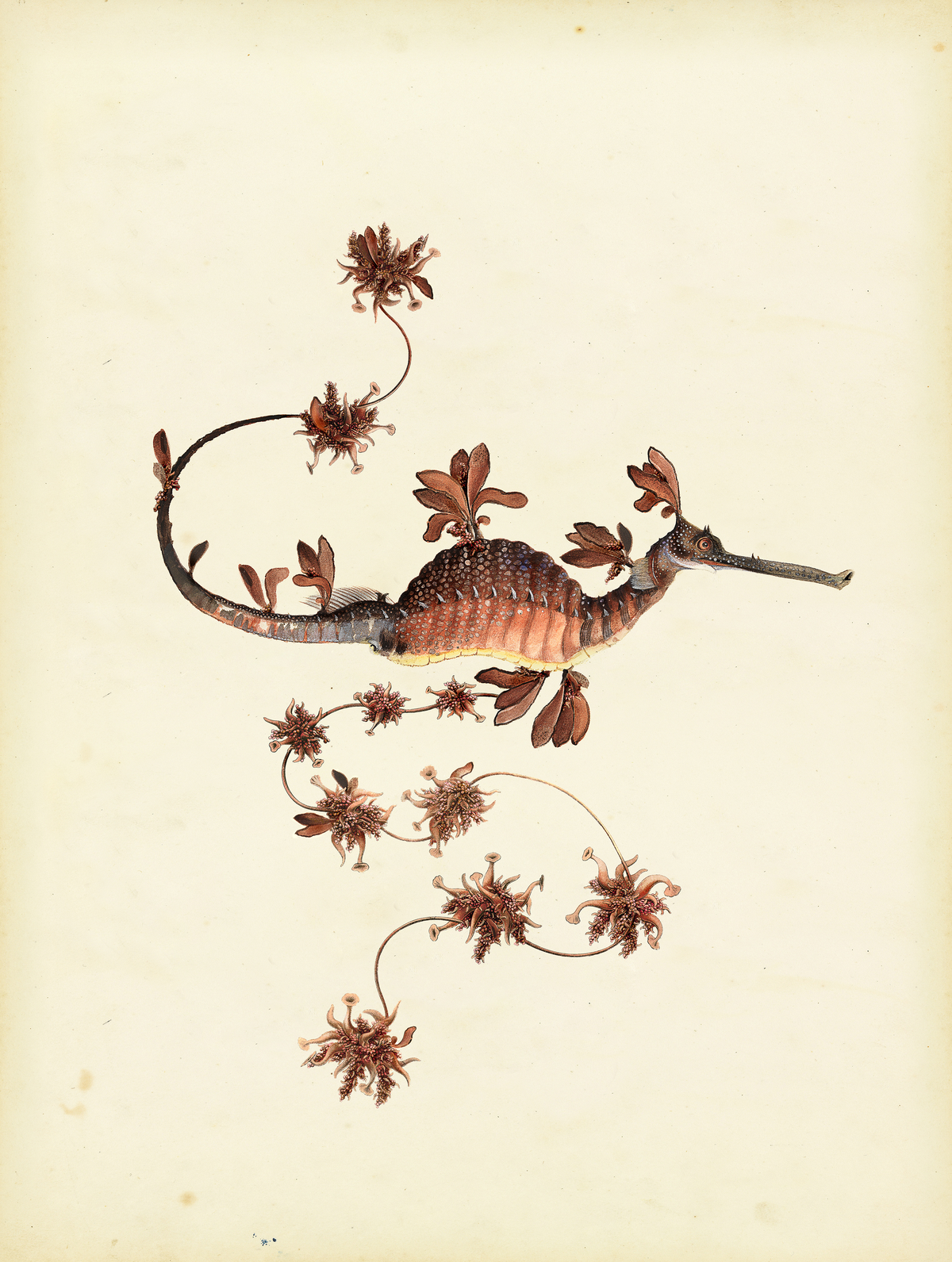 Drawing of the Extinct Animal Blooming Seadragon.