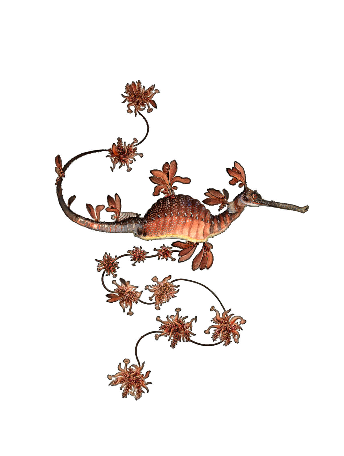The Blooming Seadragon.